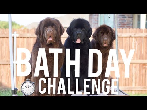 BATHING 3 NEWFIES: TIMED CHALLENGE