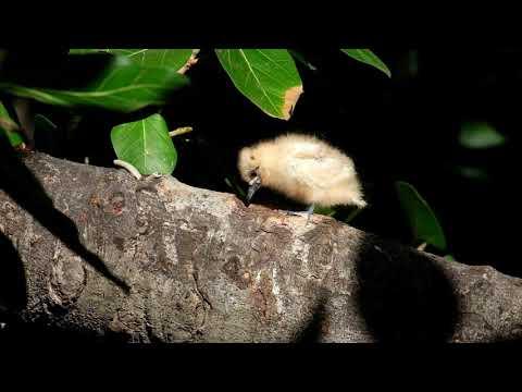 White Tern Chick (IMP-Day 19)
