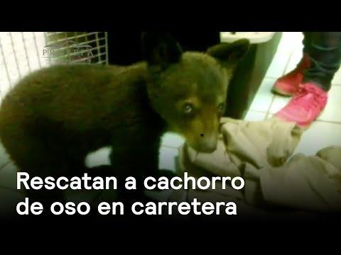 Cachorro de oso rescatado en México - Naturaleza - En Punto con Denise Maerker