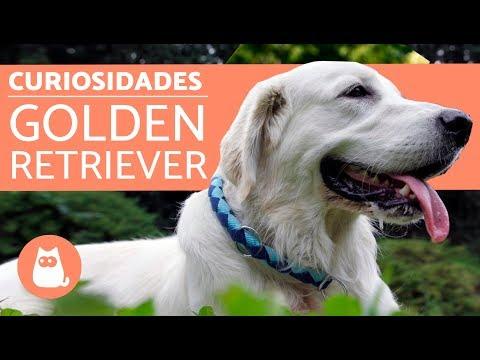 10 curiosidades del golden retriever