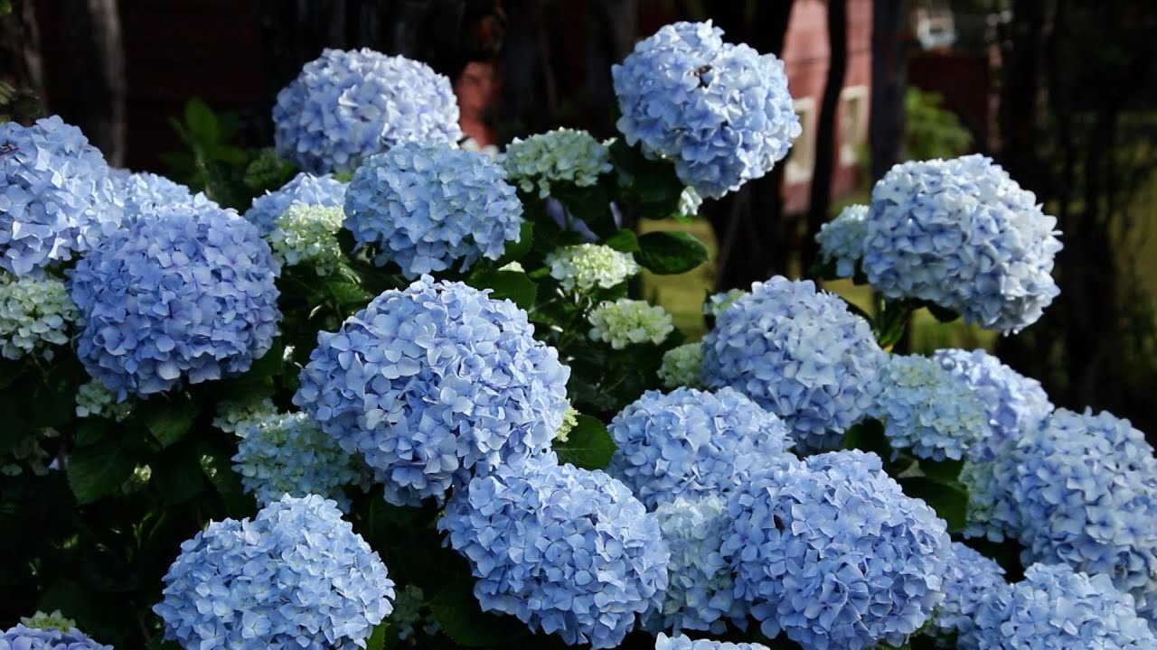 Easy Ways To Change Hydrangea Colors The Grumpy Gardener