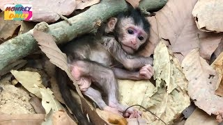 MG! MG! Lola just born today why Leyla mom leave baby alone & far from newborn | Monkey Daily 2827