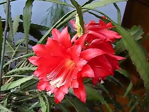 Blooming Red Cactus