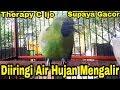 Therapy Cucak Ijo Supaya Gacor Diiringi Air Hujan Mengalir Dengan Deras  Mp3 - Mp4 Download
