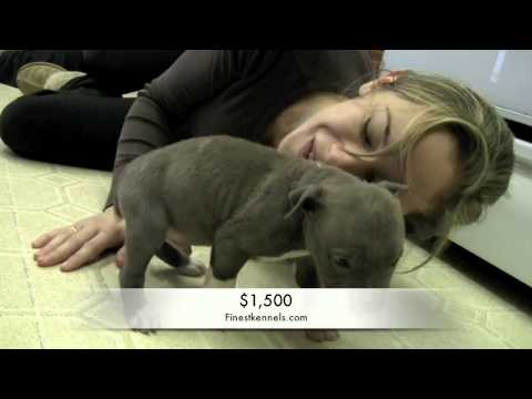 Pitbulls Puppies For Sale, Southern California