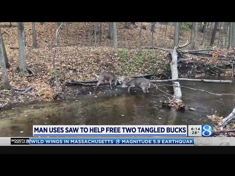 Hooker, DB and Becka - A Guy Uses a Tree Branch Saw to Separate Two Deer with Locked Antlers