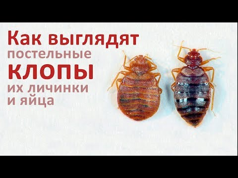 Как выглядят постельные клопы, их личинки и яйца