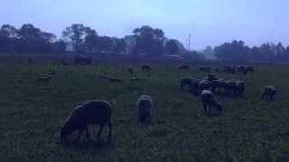 Бизнес идея - разведение овец , овцеводство как бизнес с нуля видео. Какой бизнес в деревне?(, 2014-10-06T20:19:54.000Z)