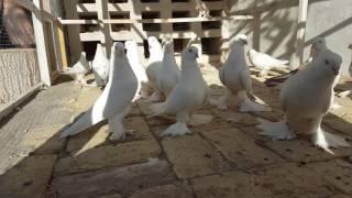 голуби андижана(, 2016-07-14T13:19:59.000Z)