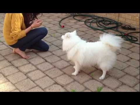 Yoda the Japanese Spitz does some tricks, takes a bow