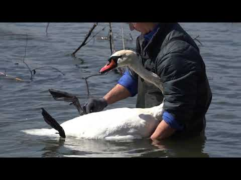 Смотреть Спасал лебедя запутавшегося в коряжнике с леской онлайн