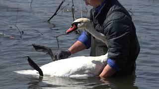 Спасал лебедя запутавшегося в коряжнике с леской