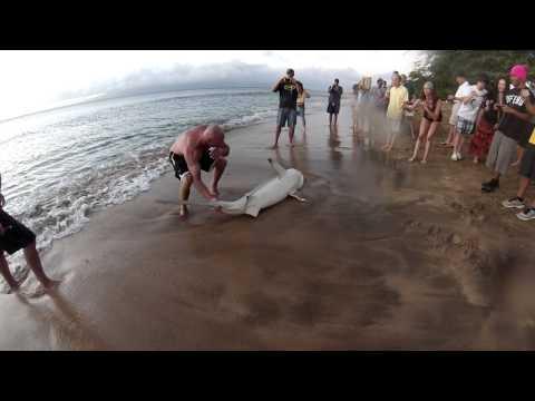 Galapagos Shark  Kaanapali Beach Maui