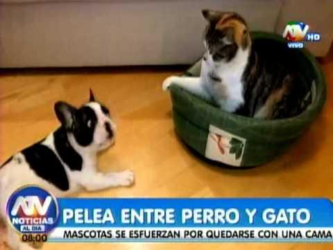 Pelea Entre Un Gato Y Un Perro Por Una Cama Es Viral Youtube