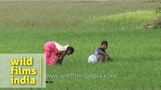 Indian women labourers work in rice fields