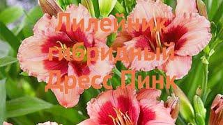 Лилейник гибридный Дресс Пинк (dress pink)