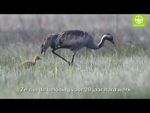 Kraanvogels Gru en