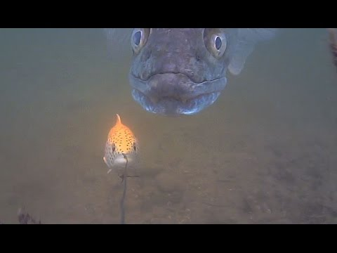Big Zander Savage Gear Line Thru Trout 30cm Follow Water Wolf Camera Youtube
