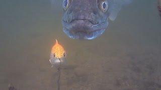 big zander savage gear line thru trout 30cm follow water wolf camera