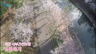 계양 서부간선수로 벚꽃축제_하이라이트썸네일