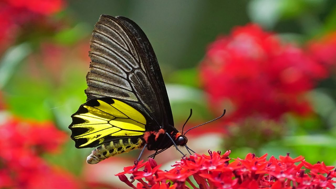 Top 10 most beautiful butterflies in the world - YouTube 10 Most Beautiful Butterflies