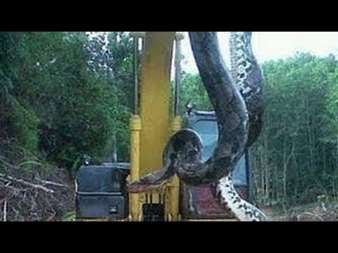 Video menangkap ular anaconda terbesar di hutan kalimantan