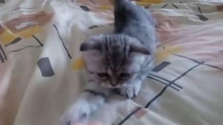 Котенок полосатый. 2 мес.
