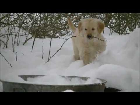 Golden retriever puppies with mom in snow