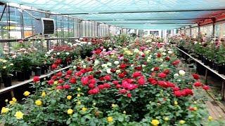 Розарий.  Тысячи роз!