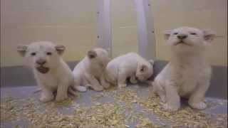 Toronto Zoo White Lion Cubs at 8 Weeks Old!