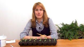 видео Базилик на балконе: 3 варианта выращивания