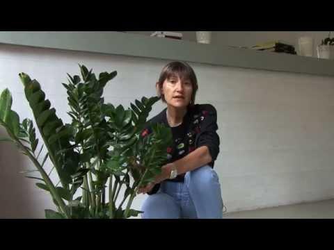Piante Verdi Da Appartamento Zamioculcas.Zamioculcas Concimazione Piante Da Interno Youtube