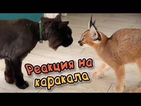 РЕАКЦИЯ КАРАКАЛА НА КОТОВ
