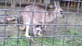 上野動物園にて撮影 親子カンガル- 餌を食す。