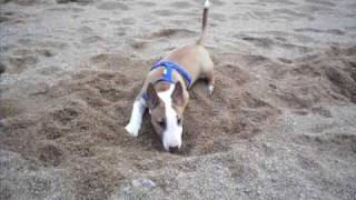 Darko (bull Terrier Miniatura)en La Playa