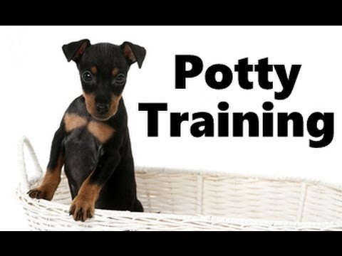 How To Potty Train A Manchester Terrier Puppy - House Training Manchester Terrier Puppies