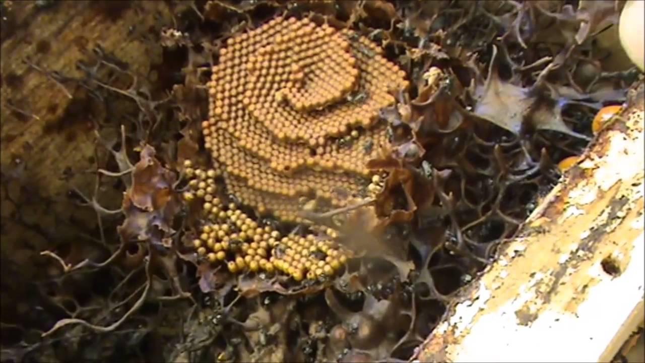 native stingless beehive rescue update split youtube
