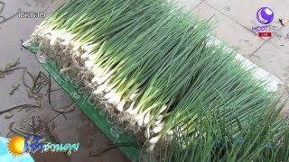 เกษตรสร้างชาติ : พิษณุโลกปลูกหอมแบ่งขาย ปลูกง่าย อายุเก็บเกี่ยวสั้น