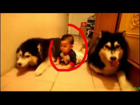 Alaskan Malamute puppies playing with kids