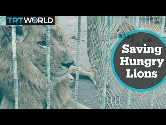 Online campaign to save hungry lions in Sudan is growing