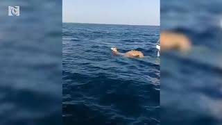 Camels go for a swim in Oman