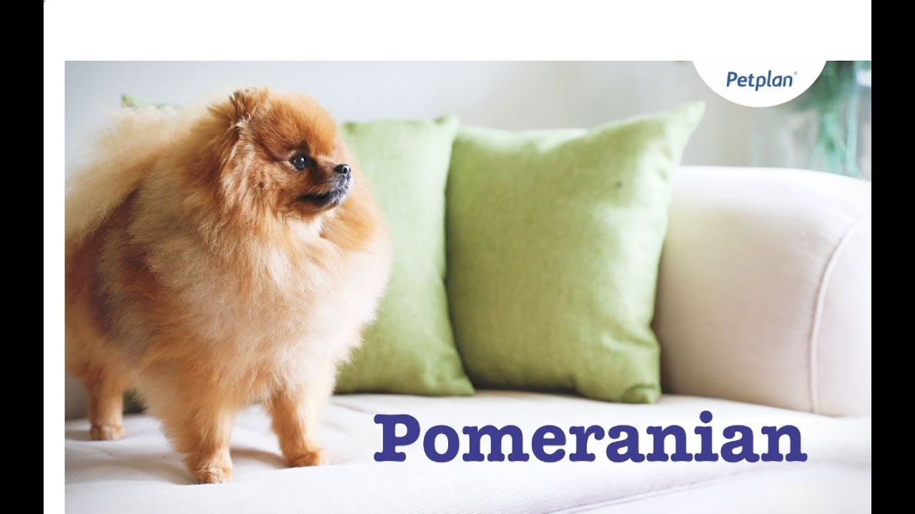 Pomeranian Puppies & Dogs | Breed, Facts & Information | Petplan