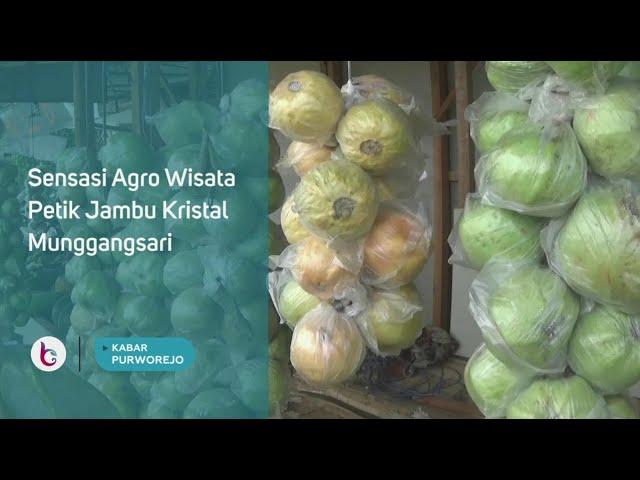 Sensasi Agro Wisata Petik Jambu Kristal Munggangsari