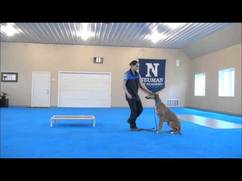 Cooper (Greyhound) Boot Camp Training Video