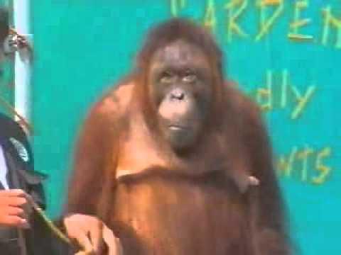 Video Màn biểu diễn khó tin của khỉ   Clip Màn biểu diễn khó tin của khỉ   Video Zing