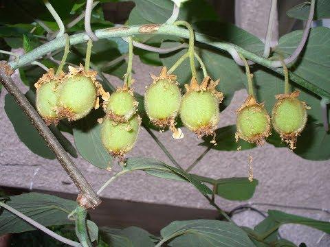 Вопрос: Как выглядят семена ананаса, фото?