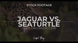 JAGUAR vs. SEATURTLE - STOCK FOOTAGE (CANON C200)
