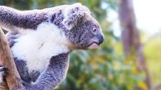 Koalas Saltando