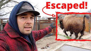 The Bison Escaped! This Could Have Been Bad!