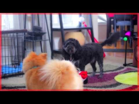 Cocker-Spaniel Poodle mix plays with his cat, Happy!! (Cartoon effect)
